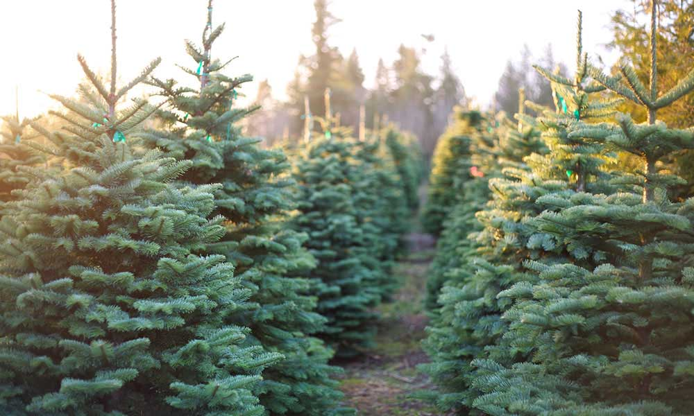 Where to Buy Real Christmas Trees