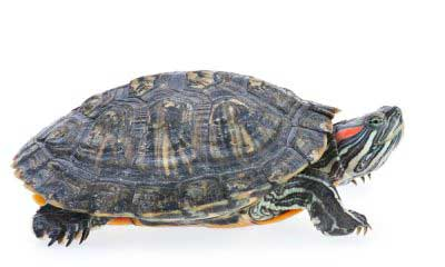 Where to Buy Pet Turtles