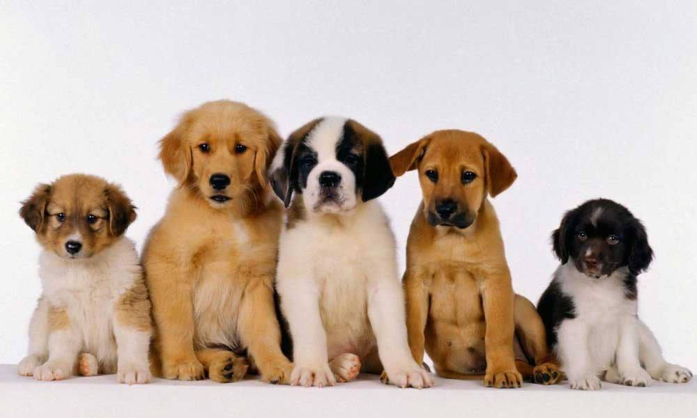 Where to Buy Puppies