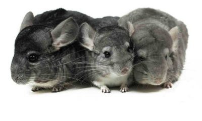 Where to Buy Chinchillas