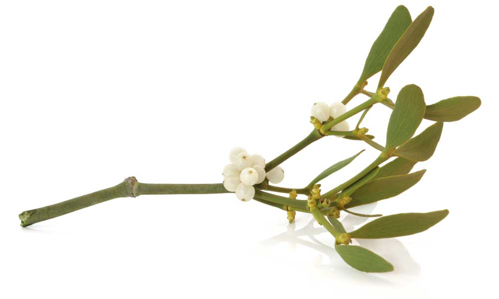 Where to buy Mistletoe