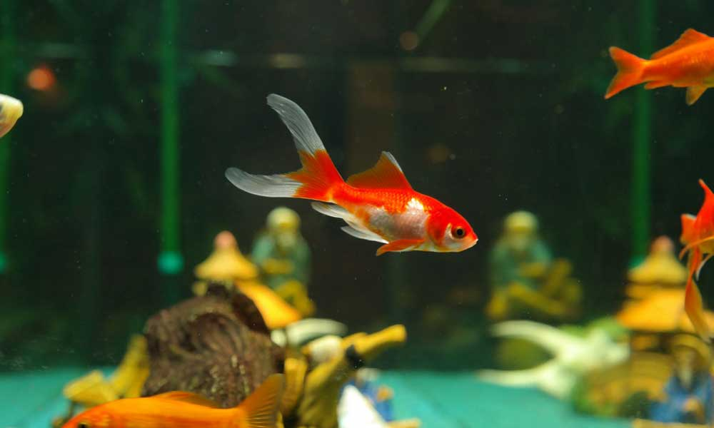 Where to buy pet fish online and at local pet stores for Order fish online